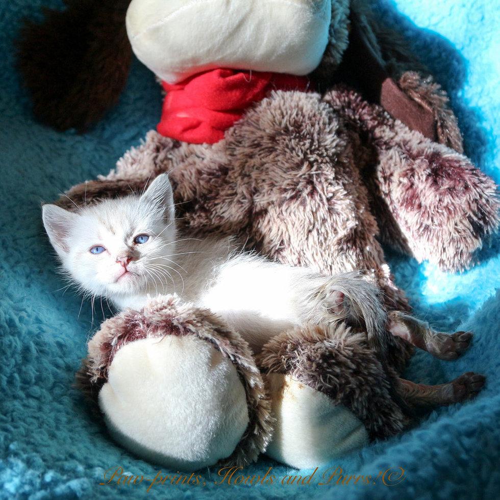 2360e88758 Naast dat de kitten zijn achterpoten niet kon gebruiken was hij ook niet in  staat om uit zichzelf te eten. Vrijwilligers moesten hem daarom elke 2 a 3  uur ...
